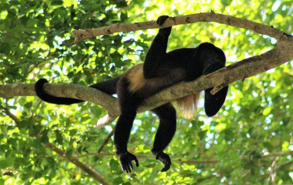 COSTA RICAN Howler Monkey
