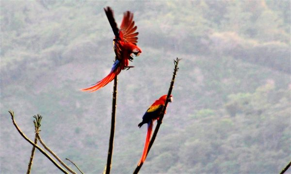 Scarlet Macaws in COSTA RICA