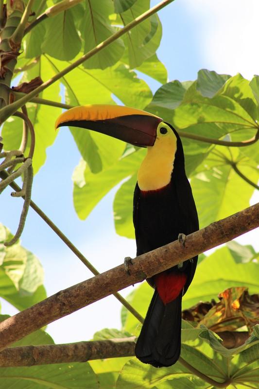 Brightly colored Toucan in COSTA RICA