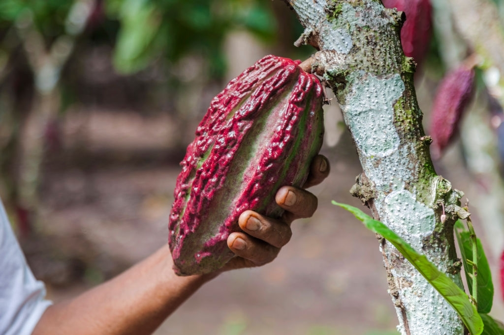 PERUVIAN farmer holding the Cacao fruit in the Amazon