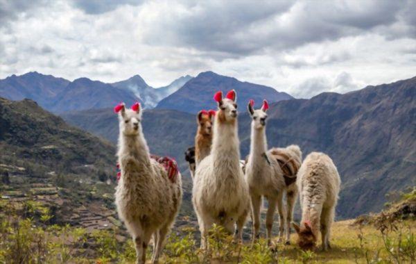 Llamas on Lares Trek